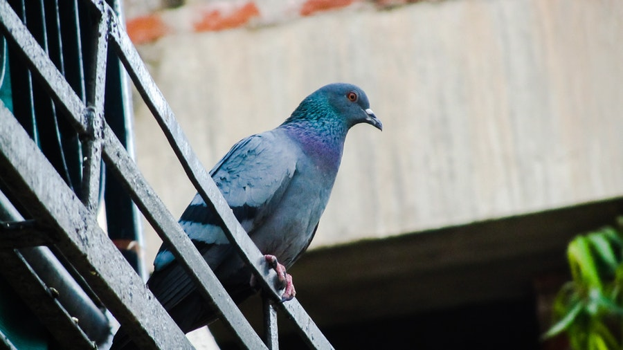 What Is The Pest Advice For Controlling Pigeons