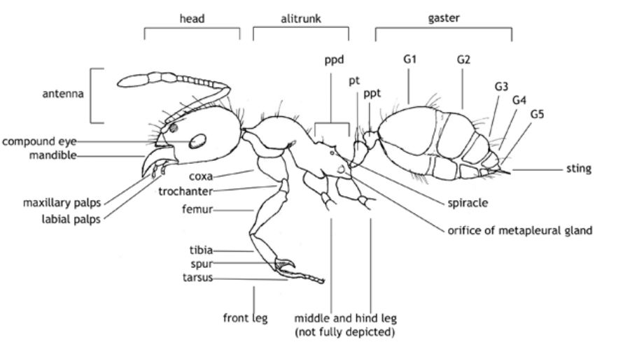 The structure of an ant