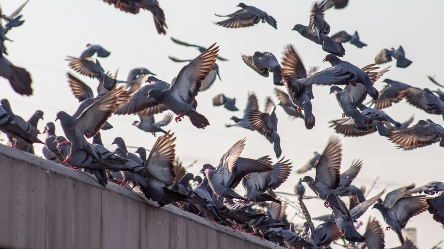 What are the problems caused by Pigeon roosting and nesting