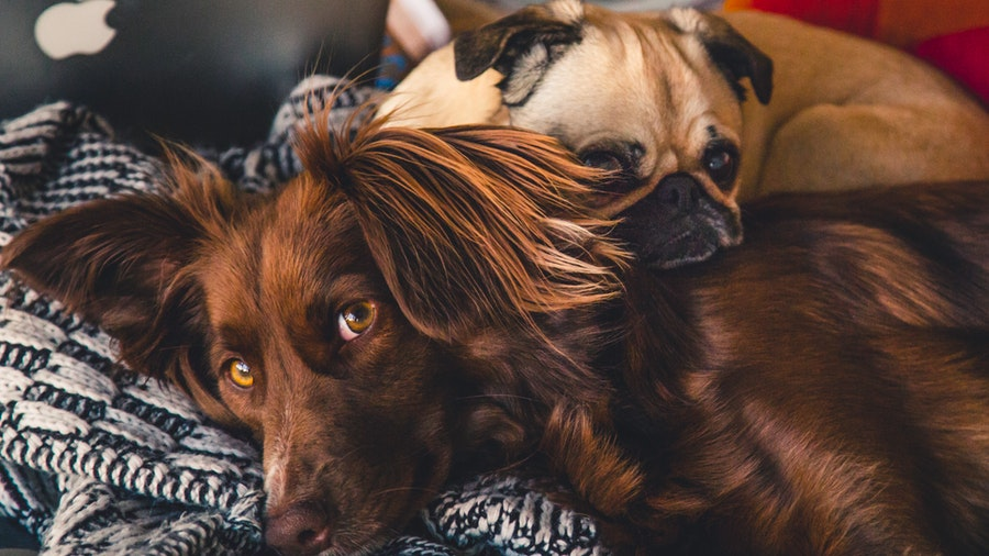 Symptoms of Parasites in Dogs