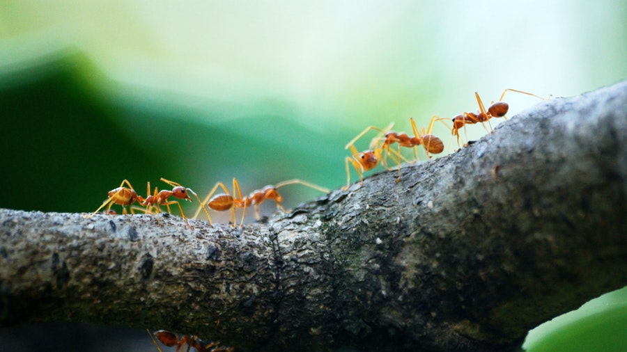 Why are Ants strong