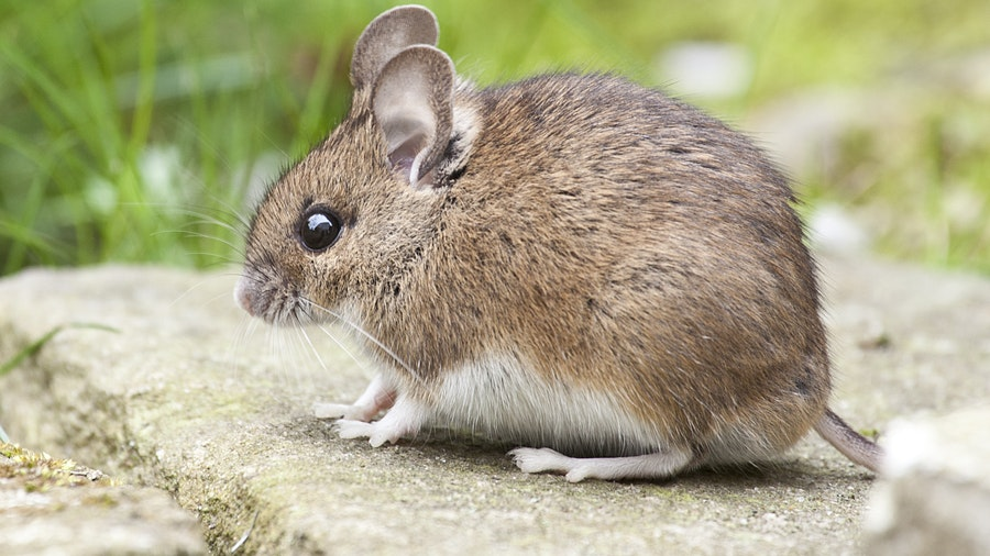 Rat-Control-–-The-Methods-You-Must-Know-to-Keep-the-Rats-Away