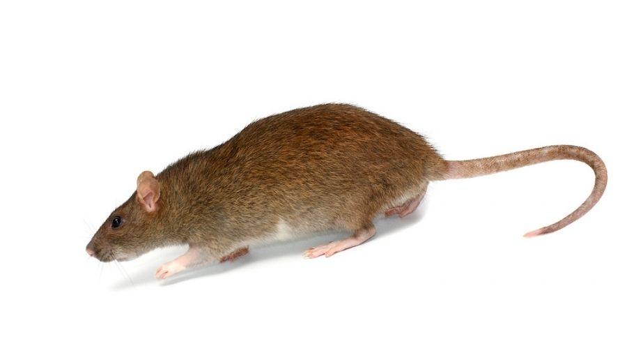 Diet-of-Rats