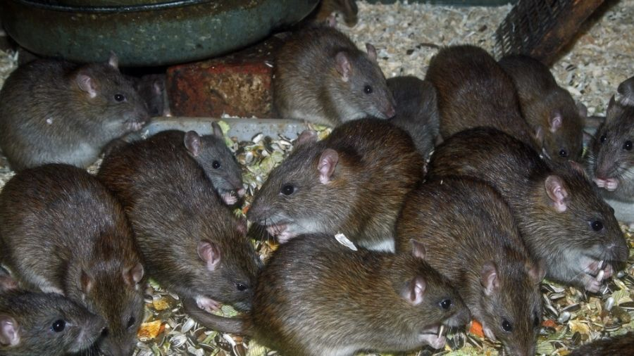 Reproduction-of-Rats
