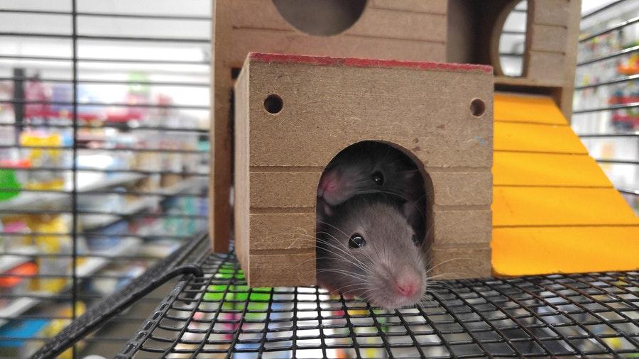 .How-to-Keep-Away-Rats